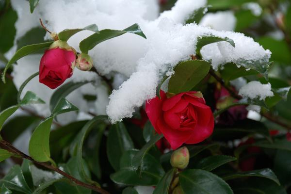 椿に雪: 日々是電脳写真